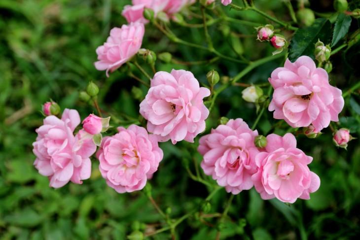 Jak odróżnić dziki pęd róży od pędu podstawowego