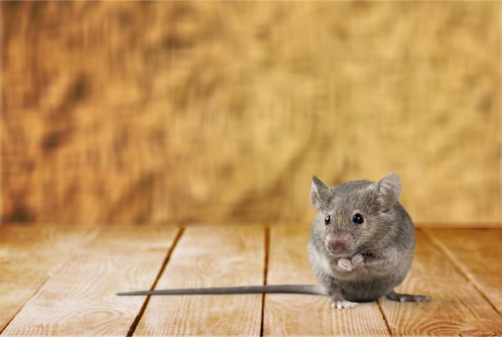 Jak pozbyć się myszy z domu