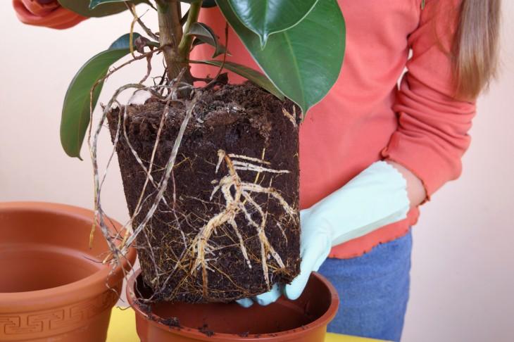 Przesadzamy rośliny doniczkowe