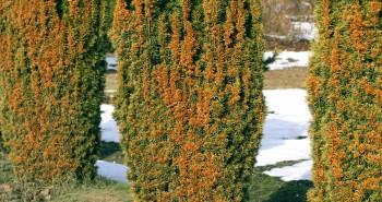 Jak uratować przemarznięte krzewy