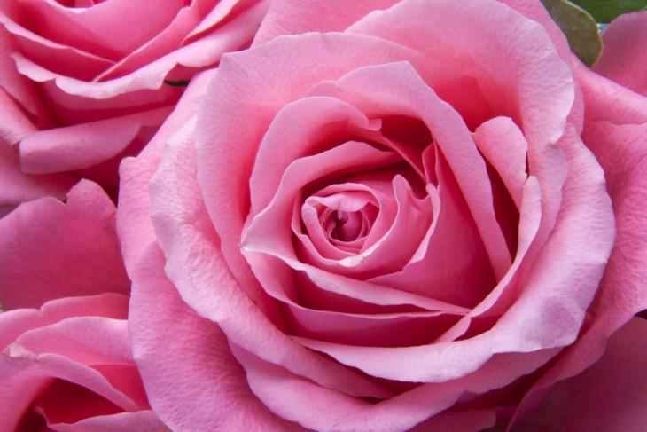 Nawozy ZIEMOVIT – to lubią róże!