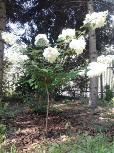 Hortensje bukietowe
