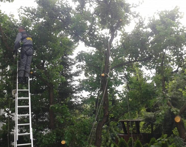 Cięcie starych drzew owocowych
