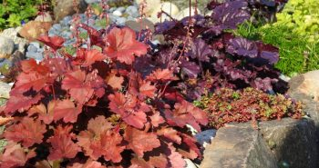 Zieleń w kolorze burgunda – bordowe byliny w ogrodzie