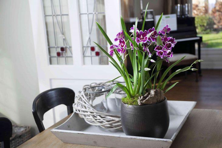 Dendrobium i Cymbidium – mniej znane storczyki