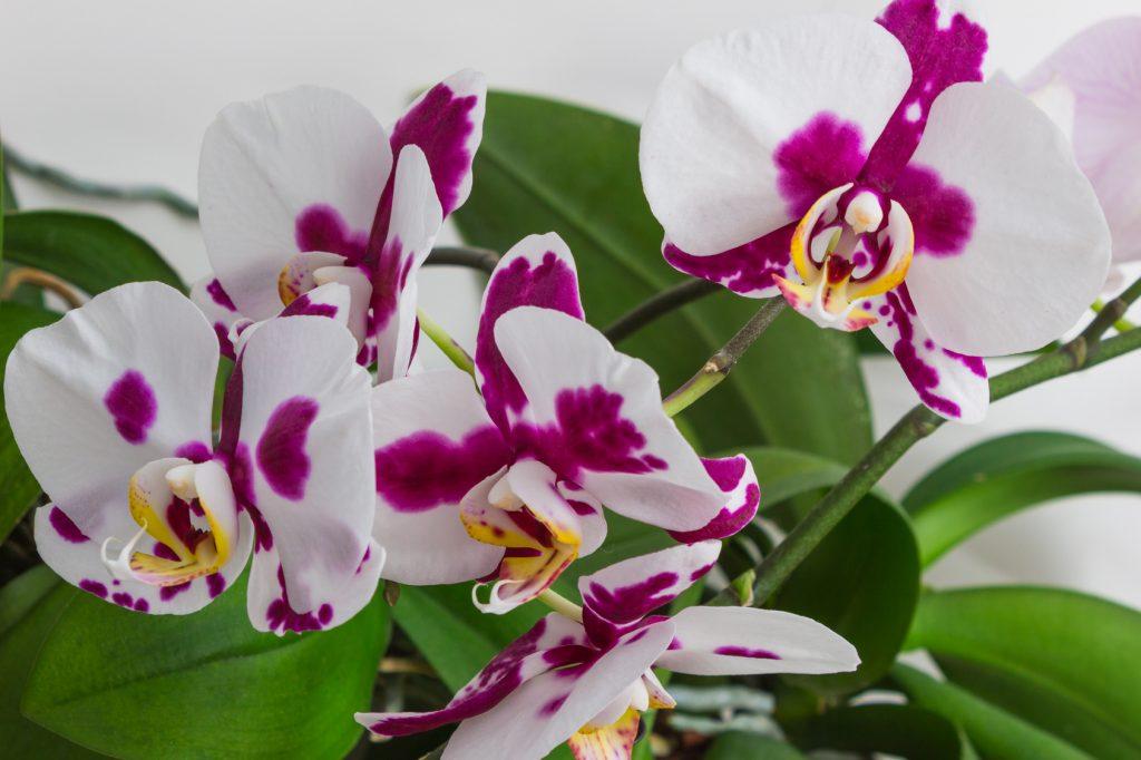 Falenopsis – najpopularniejszy storczyk