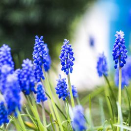 Niebiesko w wiosennym ogrodzie