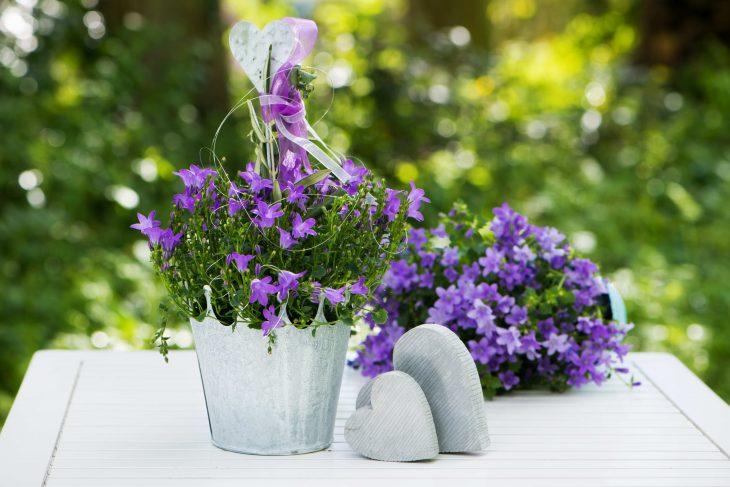 Dzwonki ogrodowe w pojemnikach