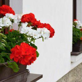 Kwiaty na parapety zewnętrzne
