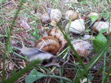 Plaga ślimaków winniczków