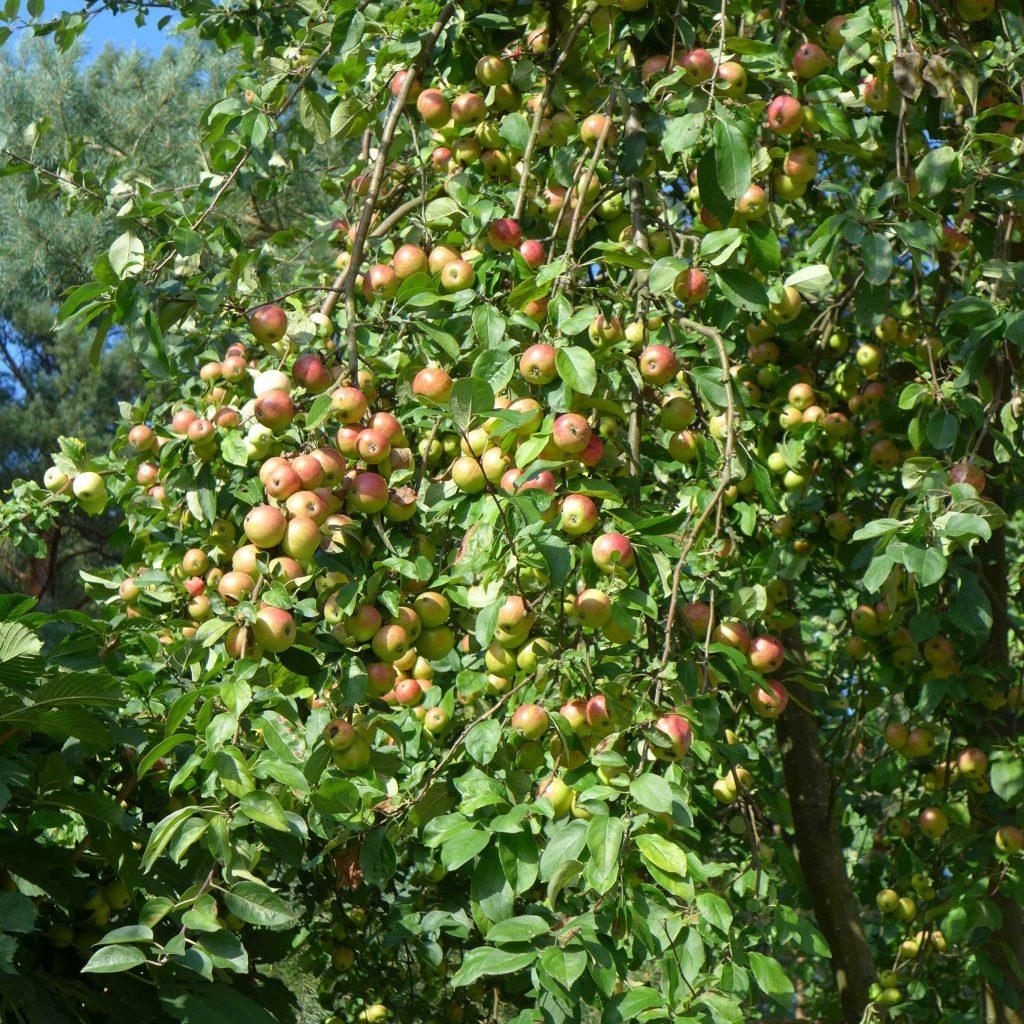 Dzikie jabłka