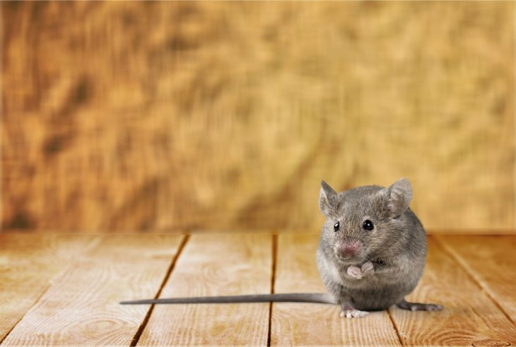 Myszy w domu? Sposoby na pozbycie się nieproszonych gości