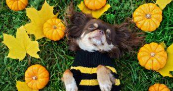 Pupil dobrze ubrany, czyli robimy sweter dla psa
