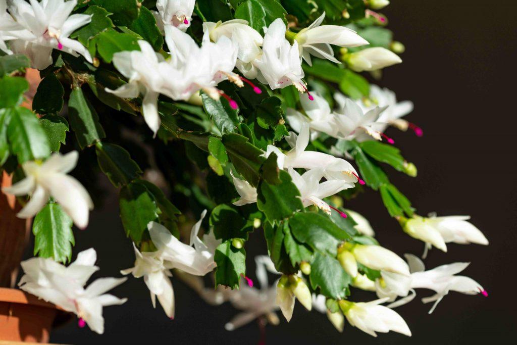 Zygokaktus – jesienny deszcz kwiatów