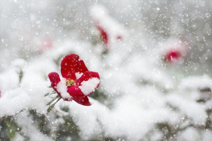 Róże na zimę dobrze zabezpieczone