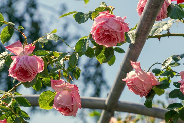 Pielęgnacja róż wiosną