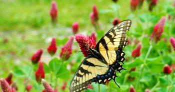Koniczyna krwistoczerwona, inkarnatka – szkarłatny akcent w ogrodzie