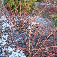 Cięcie hortensji i innych krzewów