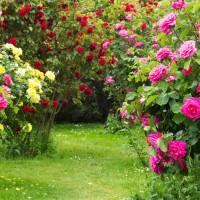 6 zasad wiosennego cięcia róż