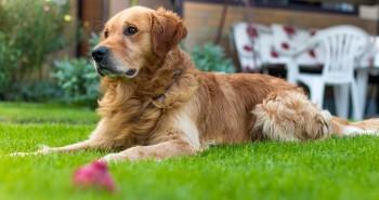 Pies i ogród – łączymy dwie sprzeczności