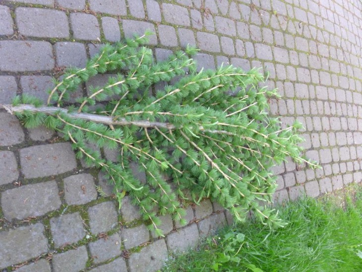 Jak obciąć czubek drzewa