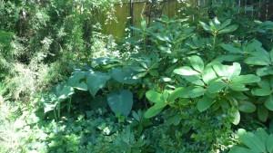Funkie – rośliny idealne do zacienionego ogrodu