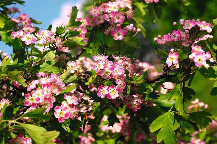 Głóg i dzika róża – krzewy na zdrowie!