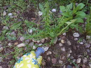 Z mleczem w ogrodzie za pan brat – zielona sałatka