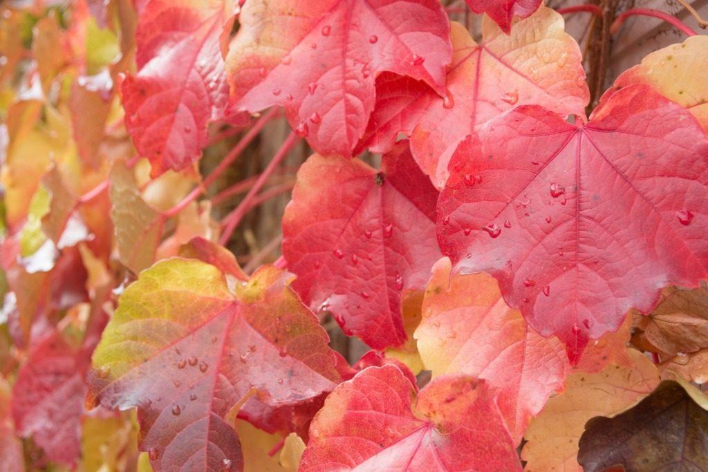 Dzikie wino – ogród winobluszczem opleciony