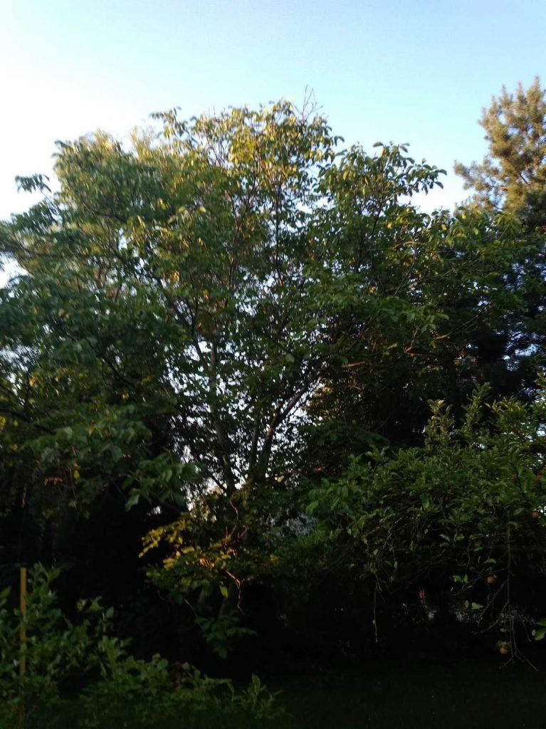 Orzech włoski w ogrodzie